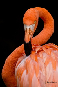 Carribean flamingo also known as the American flamingo (P... by Filip Staes